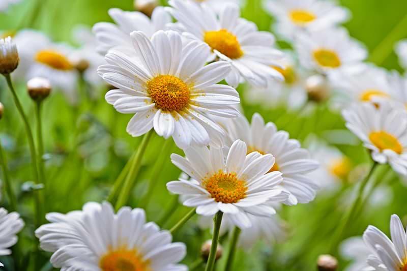 Kamille Blüten
